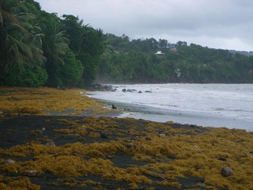 La plage de Grand'Anse envahie par les sargasses